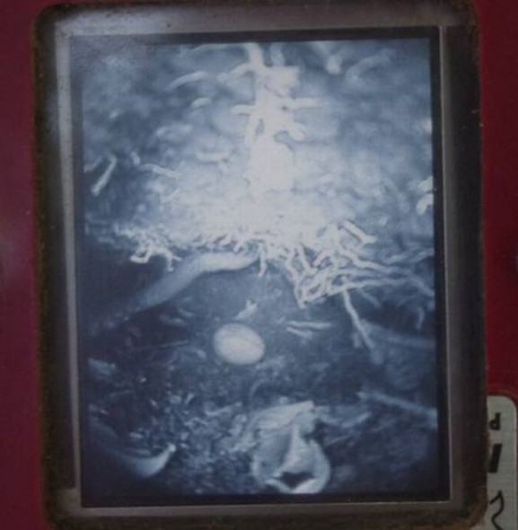 Flesh-footed shearwater egg viewed through a burrowscope. Image: Colin Miskelly, Te Papa