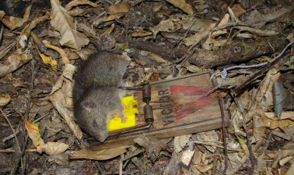 A kiore snap-trapped for the Te Papa collection, Taranga, December 2010. They were eradicated from the island 5 months later. Image: Colin Miskelly, Te Papa