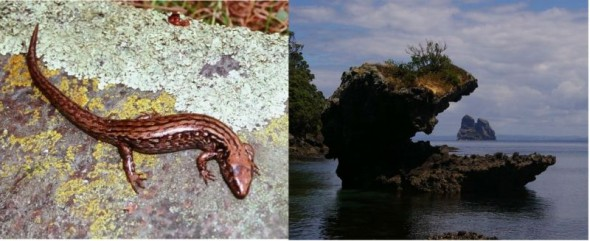 McGregor's skink (Oligosoma macgregori), and Sail Rock viewed from Dragon Mouth Cove, Taranga (Hen Island). Tony Whitaker found McGregor's skink to be present on Sail Rock during landings there in January 1969 and March 1971. McGregor's skinks from Sail Rock were translocated to nearby Lady Alice and Whatupuke Islands after Pacific rats were eradicated on both islands. Images: Colin Miskelly