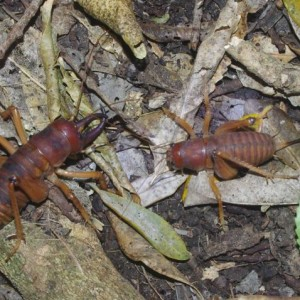 A pair of Mercury Island tusked weta on the forest floor at night, Ohinau Island, January 2014. The large male (with tusks) is on the left; the long appendage at the rear of the female is her ovipositor, used to lay eggs in the soil. Image: Colin Miskelly, Te Papa