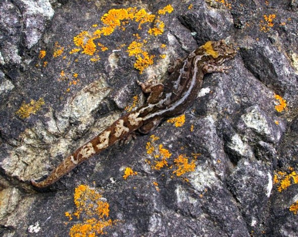 Pacific gecko, Stead Bay, Taranga. Image: Colin Miskelly, Te Papa