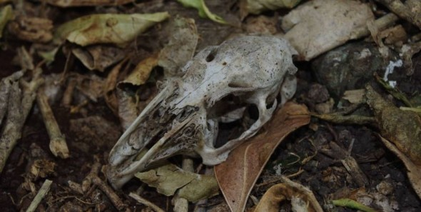 Rabbit skull on Ohinau Island, February 2014. These introduced pests, along with Pacific rats (kiore) were eradicated from the island in 2005. Image: Colin Miskelly, Te Papa