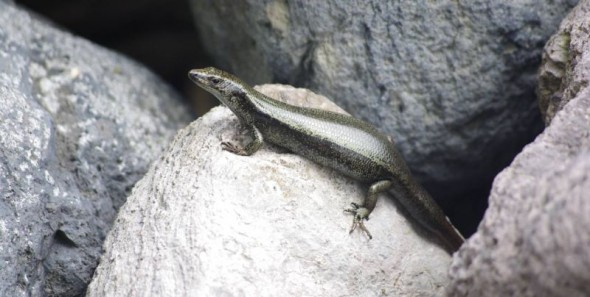 A pregnant shore skink sunbasking among boulders on Ohinau Island, January 2014. Image: Colin Miskelly, Te Papa