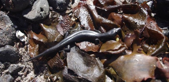 Suter's skink among tidewarck on Ohinau Island, January 2014. Image: Colin Miskelly, Te Papa