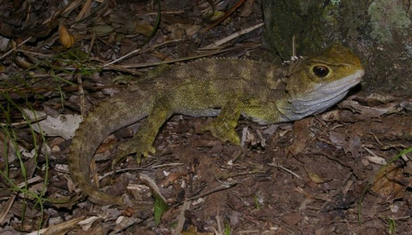 Tuatara on the summit ridge of Taranga at night. Image: Colin Miskelly, Te Papa