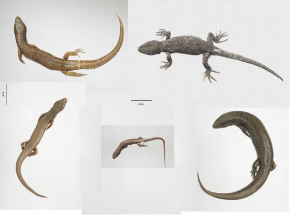 Lizard holotype specimens collected by Tony Whitaker and held by Te Papa. Clockwise from top left: Whitaker's skink (Oligosoma whitakeri), black-eyed gecko, (Mokopirirakau kahutarae), green skink (O. chloronoton), long-toed skink (O. longipes), and Towns' skink (O. townsi). Image: Te Papa (composite image from Collections Online – approximately to scale)