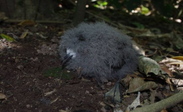 White-faced storm petrel chick, Ohinauiti Island, January 2014. Image: Colin Miskelly, Te Papa