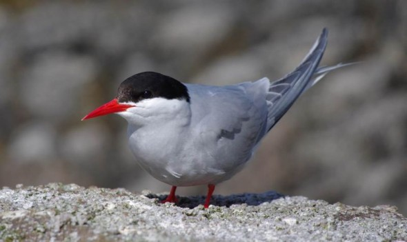 An Antarctic tern in breeding plumage, Snares Islands, December 2013. Image: Colin Miskelly, Te Papa
