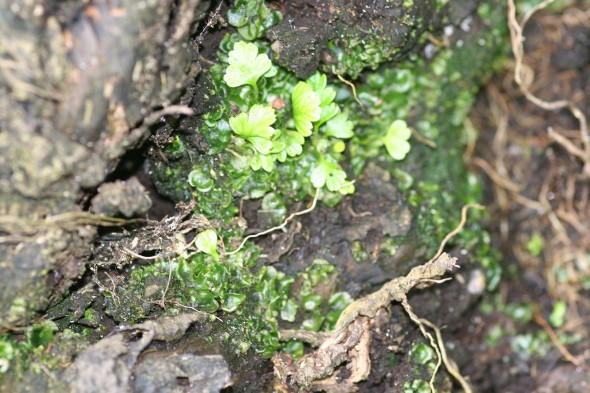 A trick for young players! Asplenium gametophytes and young plants. Image: Antony Kusabs, Te Papa.