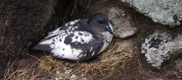 A Cape petrel on its cliff ledge nest, North East Island, Snares Islands, December 2013. Image: Colin Miskelly, Te Papa