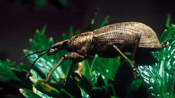 A Catoptes brevicornis australis weevil on Anisotome acutifolia at night. Image: Colin Miskelly