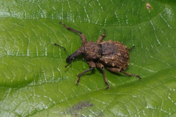 Knobbled weevil (Hadramphus stilbocarpae) on a punui (Stilbocarpa robusta) leaf. Image: Colin Miskelly, Te Papa