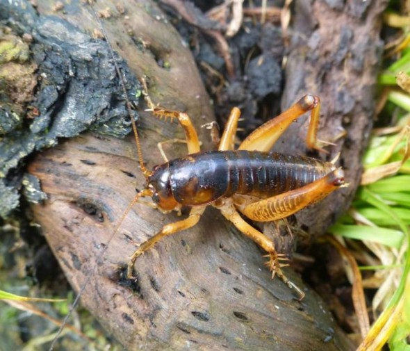 The endemic Snares Island ground weta Hemiandrus subantarcticus. Image: Alan Tennyson, Te Papa