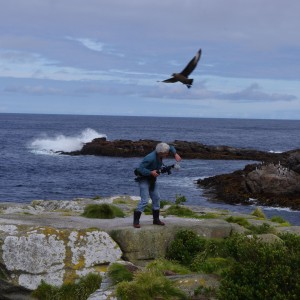 The brown skua (Catharacta antarctica) swooping our cameraman on Station Point. Snares Islands, North-East Island. Image: Colin Miskelly, Te Papa.
