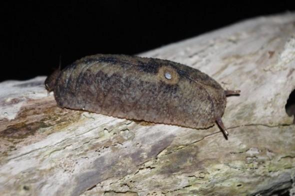Leaf-veined slug (Pseudaneitea huttoni). Image: Colin Miskelly, Te Papa