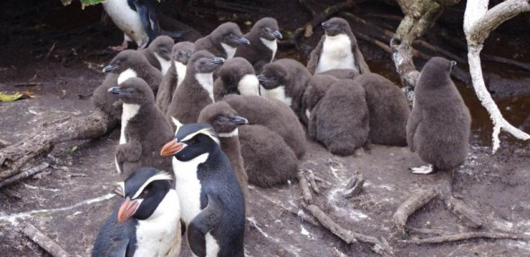 Snares crested penguin chicks on North East Island, 2 December 2013. Image: Colin Miskelly