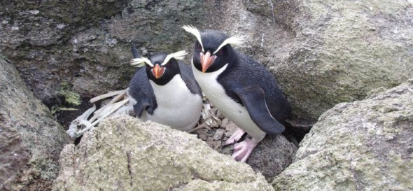A pair of Snares crested penguins incubating eggs on Toru Islet, Western Chain, 28 November 2013. Image: Colin Miskelly, Te Papa
