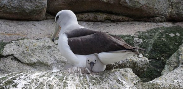A Salvin's mollymawk broods its chick on Toru Islet, Western Chain, Snares Islands, November 2013. Image: Colin Miskelly, Te Papa