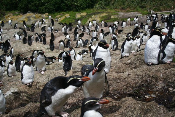Snares Crested penguin (Eudyptes robustus). Snares Islands, North-East Island, Station cove. Image: Antony Kusabs, Te Papa