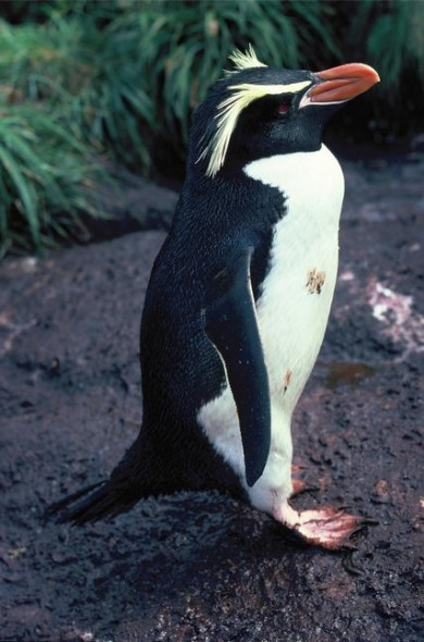 Adult Snares crested penguin standing in profile. Station Point, The Snares, November 1986. Photographer: Alan Tennyson © Alan Tennyson