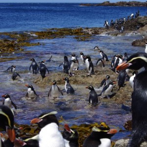 Snares crested penguins on the landing rocks in Station Cove. Image: Colin Miskelly: Te Papa
