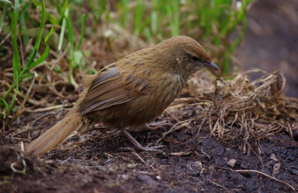 A recently fledged Snares Island fernbird foraging on the ground, December 2013. Image: Colin Miskelly, Te Papa