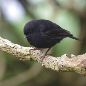 Adult Snares Island tomtit (not to be confused with the similar-looking black robin of the Chatham Islands). Image: Colin Miskelly, Te Papa