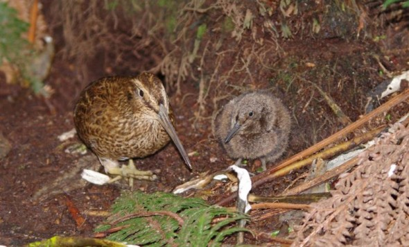 Snares Island snipe and chick, December 2013. Image: Colin Miskelly, Te Papa