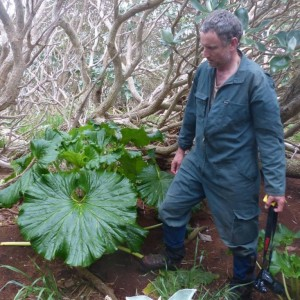 Colin Miskelly standing next to a large punui (Stilbocarpa robusta) on the Snares Islands. This plant had leaves up to 73 cm across. Image: Alan Tennyson, Te Papa