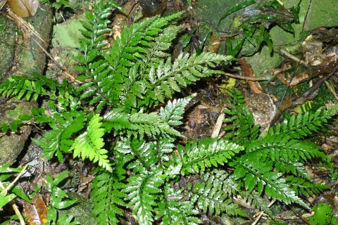 Asplenium lamprophyllum, a relative of the hen & chickens fern.  No living populations were known from the Wellington region, until recently rediscovered by the Wellington Botanical Society.