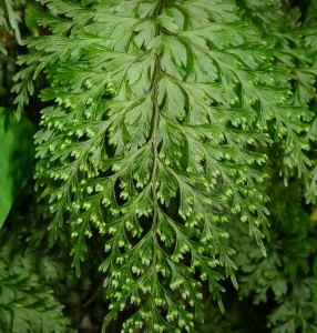 Piripiri, Hymenophyllum demissum, Wellington.  A filmy fern that is common in New Zealand.  Photo (c) Leon Perrie.