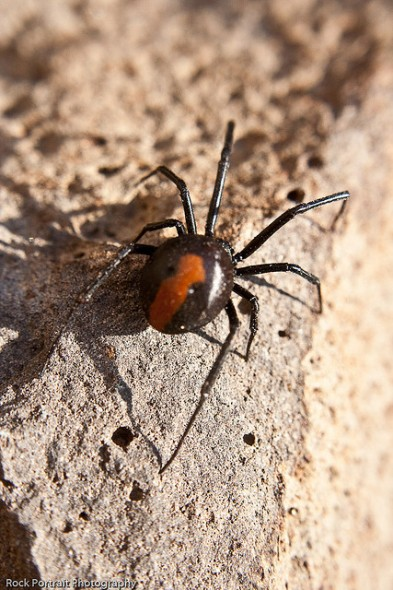 Adult female Australian redback. Photographer: Stephen McGrath (CC BY-NC-ND 2.0)