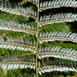 3_Cyathea_dealbata_6880_AwahouWhangamomona2_REDUCED