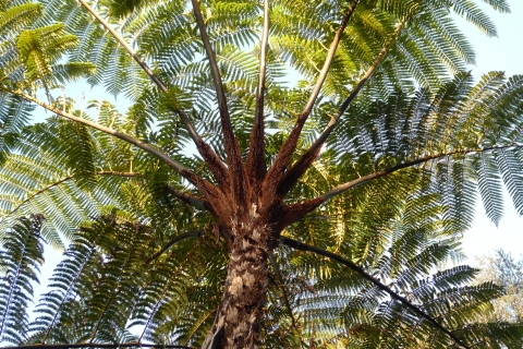 4_Cyathea_medullaris_Puketi2_REDUCED
