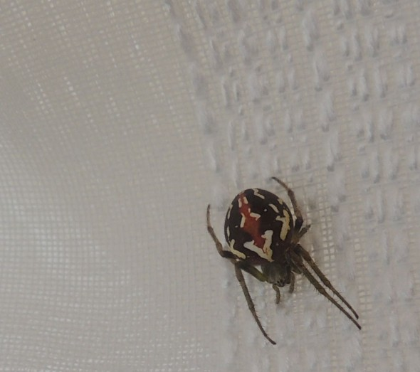 The spider in question. Happily sunning itself on my curtain. © Te Papa