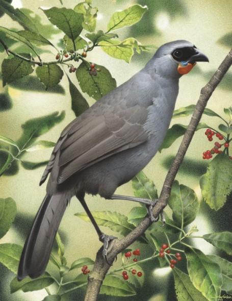 South Island kokako. From 'Extinct birds of New Zealand'. Painting by Paul Martinson (original held by Te Papa)