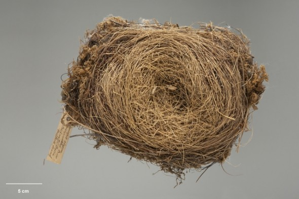 "The South Island kokako nest in the Te Papa collection (OR.029158). The only information on the label is ""Freshwater Basin, Milford Sound""."