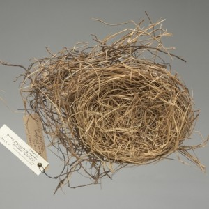 "A South Island piopio nest in the Te Papa collection (OR.027634). The only information on the label is ""Cleddau River, Milford Sound""."