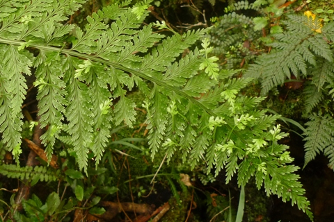 Hen & chickens fern, Asplenium bulbiferum, was one of the most frequently reported ferns. Photo (c) Leon Perrie.