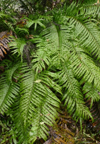 Kiokio, Blechnum novae-zelandiae, was one of the most frequently reported ferns. Photo Leon Perrie. (c) Te Papa.