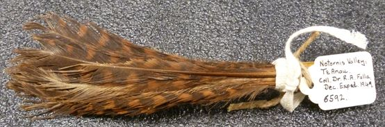 Bunch of weka feathers, ME006592, possibly used as a lure for attracting inquisitive birds, such as takahē and weka