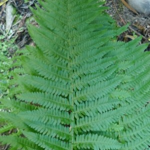 Male fern, Dryopteris filix-mas, is an introduced weed in New Zealand.  It was reported several times. Photo (c) Leon Perrie.