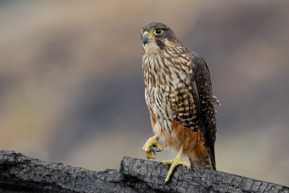 A superb master image from New Zealand Birds Online, showing an adult New Zealand falcon standing out clearly from the background. Image: Craig McKenzie, New Zealand birds Online