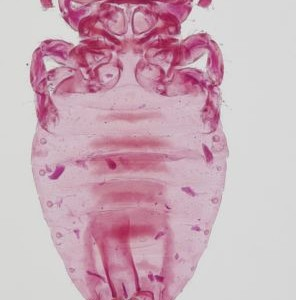 Male of the very endangered Iberian lynx louse, Felicola (Lorisicola) isidoroi Pérez & Palma, 2001. This is the only specimen known of this species, and is kept in the collection of the Museo Nacional de Ciencias Naturales in Madrid, Spain.