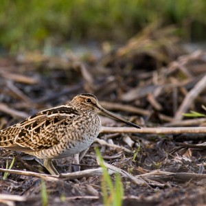 A vagrant Japanese snipe photographed at Lake Rotokaeo, Hamilton. Image: Neil Fitzgerald, New Zealand Birds Online