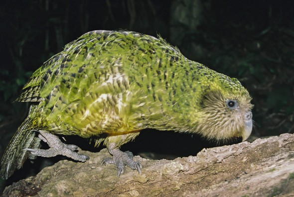 Kakapo - out of sight, but not completely out of mind. Image: Dylan van Winkel, New Zealand Birds Online
