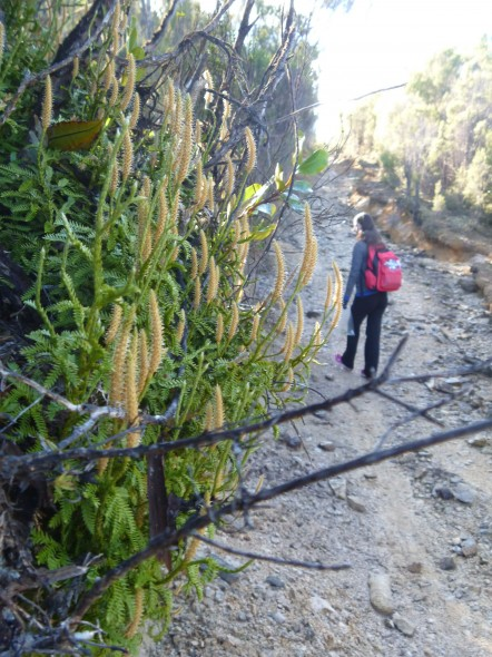 Lycopodium scariosum (foreground) and Delaney (background) looking for suitable samples on Takaka Hill. Photo: Lara Shepherd.