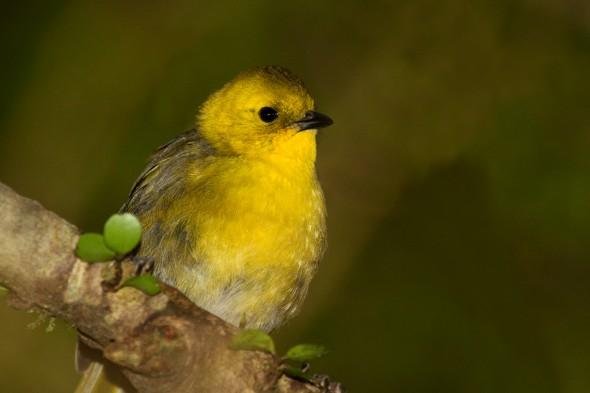 Mohua (yellowhead) - the 2013 'Bird of the Year'. Image: Glenda Rees, NZ Birds Online