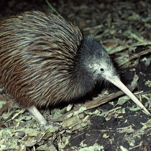 The North Island brown kiwi was the most viewed kiwi species, but was only the 32nd most viewed species. Image: Rod Morris (Department of Conservation), New Zealand Birds Online