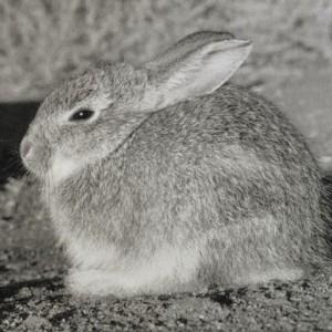 Peryer - rabbit